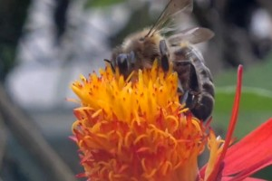 Video: Nokia N8 Flowers and Honey Bee